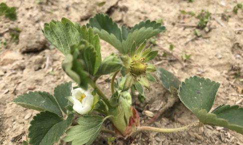 自然農法 イチゴの花