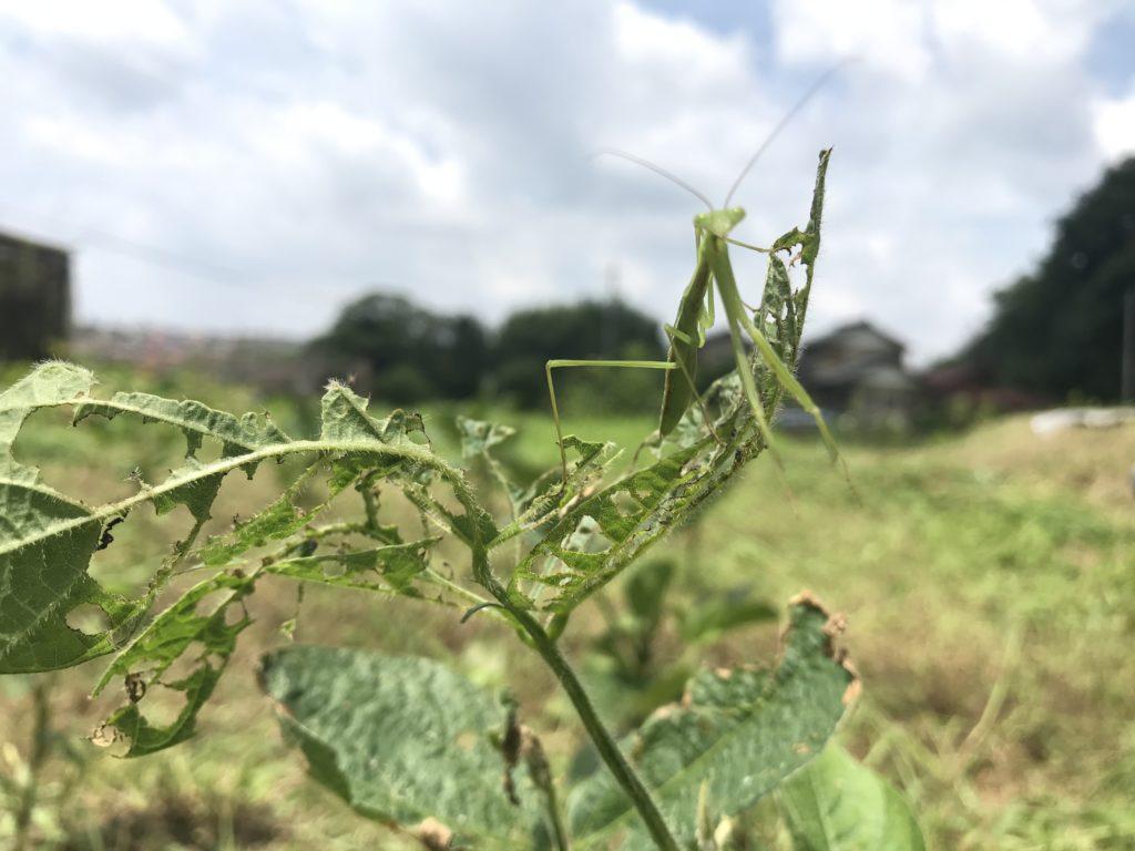 枝豆にとまるカマキリ